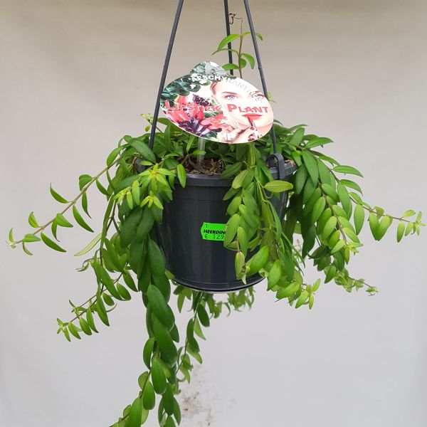 Aeschynanthus 'Japhrolepis' (Lipstickplant)