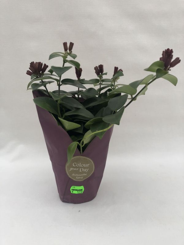 Aeschynanthus 'Mona Lisa' (Lipstickplant)