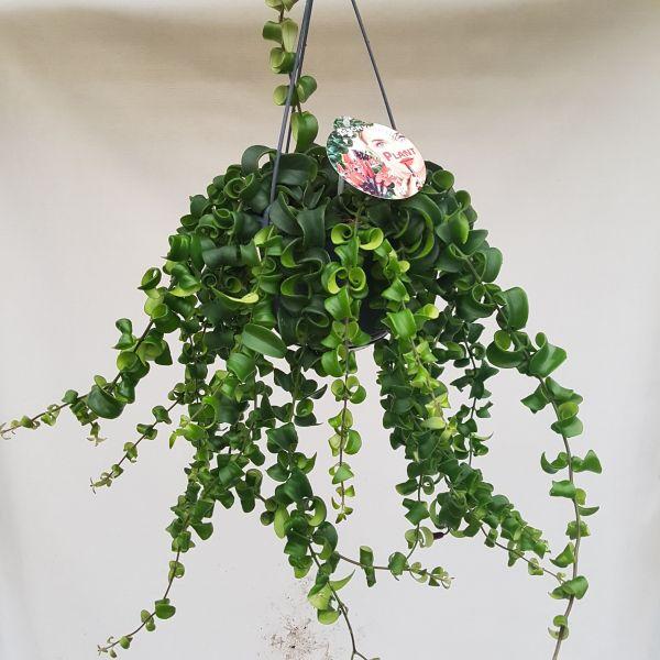 Aeschynanthus 'Rasta' (Lipstickplant)