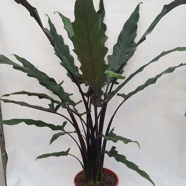 Alocasia 'Lauterbachiana' (Olifantsoor)