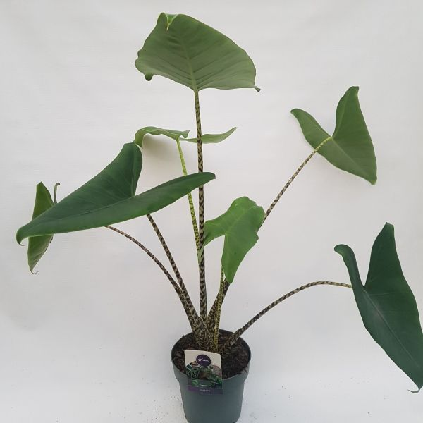 Alocasia 'Zebrina' (Olifantsoor)