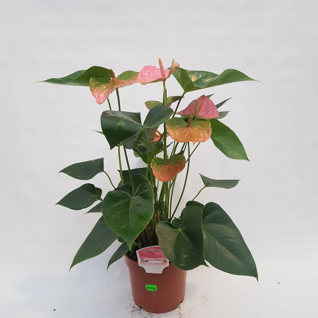 Anthurium andreanum 'Pandola' (Flamingoplant)
