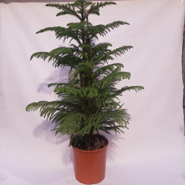 Araucaria heterophylla (Kamerden) 100 CM