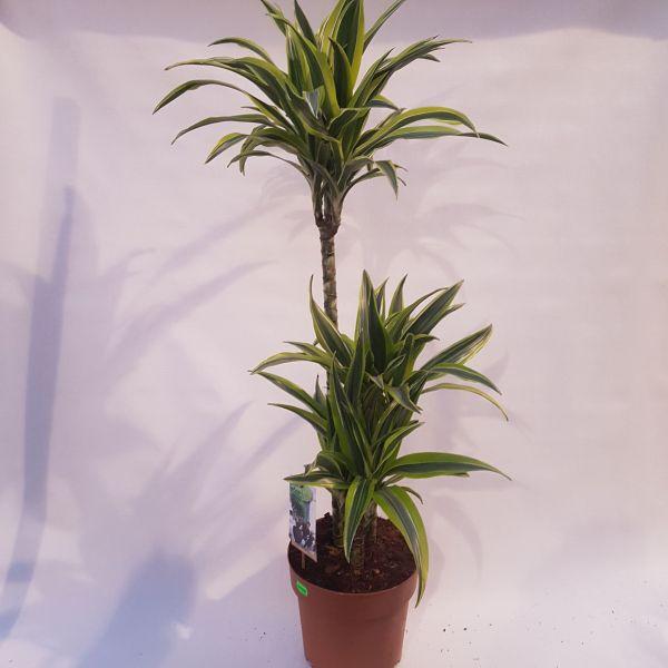 Draceana fragrans 'Lemon Lime' (Drakenbloedboom) 100 CM
