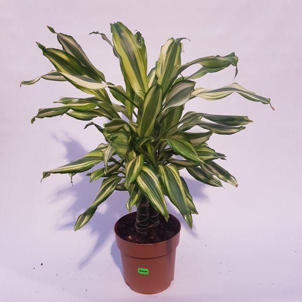Draceana fragrans 'Yellow Coast' (Drakenbloedboom)