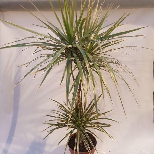 Draceana marginata bicolor
