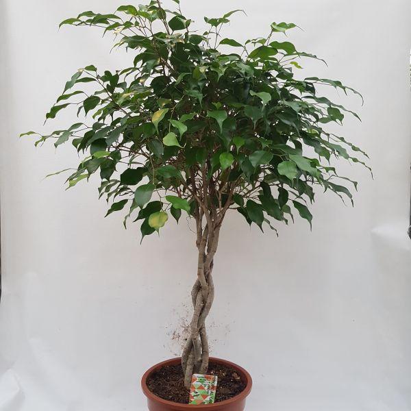 Ficus benjamina (Treurvijg)