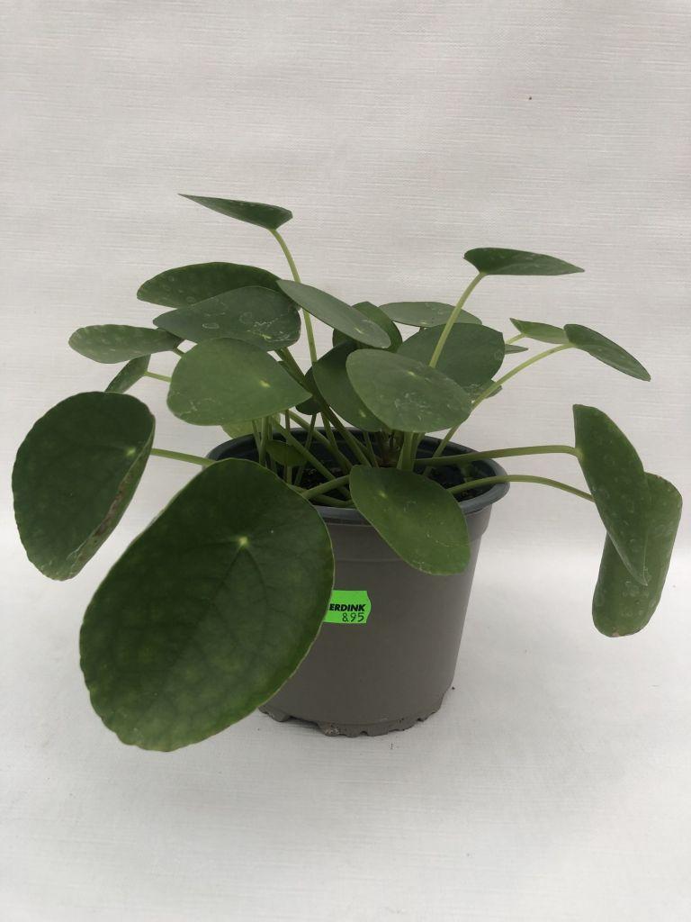 Pilea peperomioides (Pannekoekplant) 20 CM