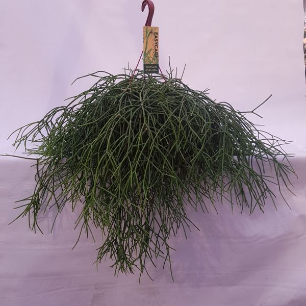 Rhispalis pulchira (Koraalcactus)
