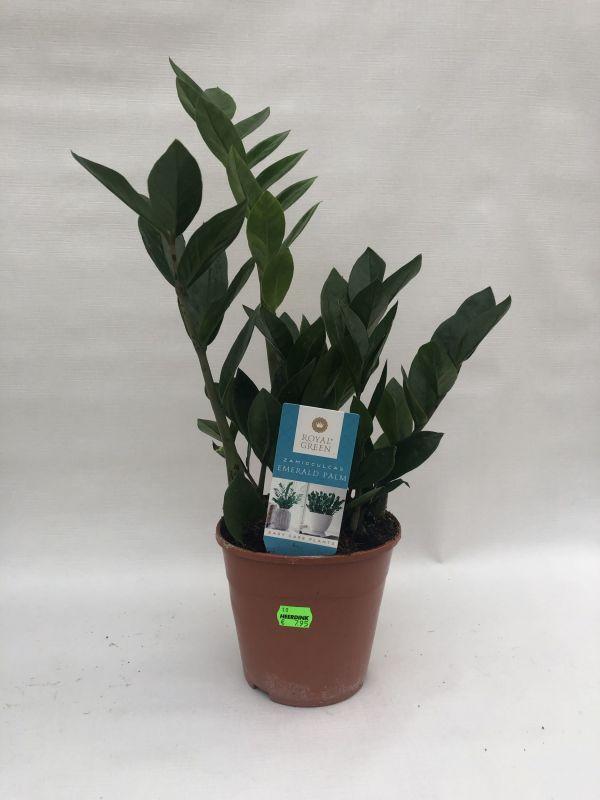 Zamioculcas zamiifolia 40 CM / 15 CM