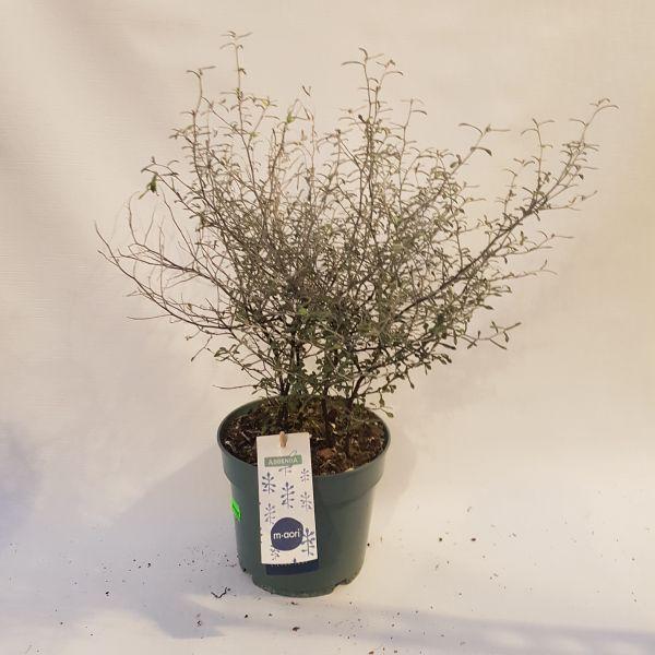 corokia cotoneaster 'Maori Green' (Zigzagplant)